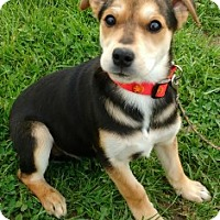 Adopt A Pet :: Ollie - Aurora, IL