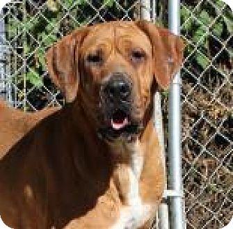 Tosa Inu Dog for adoption in Santa Cruz, California - Marina