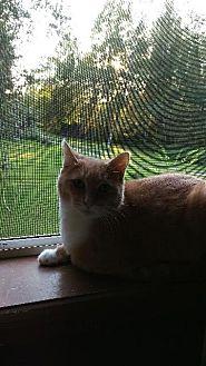 Domestic Shorthair Cat for adoption in Brainardsville, New York - Avery