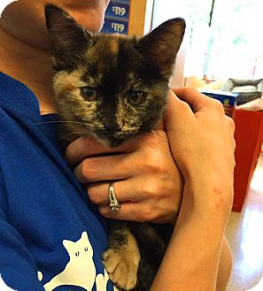 Domestic Shorthair Kitten for adoption in Lombard, Illinois - Buttercup