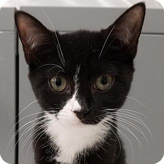 Domestic Shorthair Cat for adoption in New York, New York - Cookie