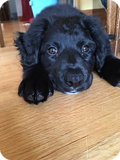 Retriever (Unknown Type) Mix Puppy for adoption in Hainesville, Illinois - Armani