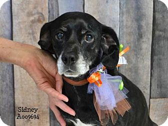 Whippet/Beagle Mix Dog for adoption in Conroe, Texas - Sidney