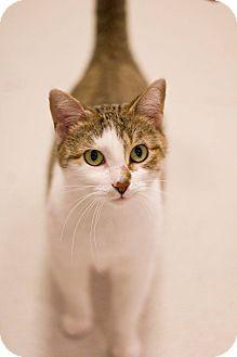 Domestic Shorthair Cat for adoption in Grayslake, Illinois - Meri