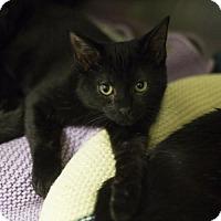 Adopt A Pet :: Puma - Salem, MA