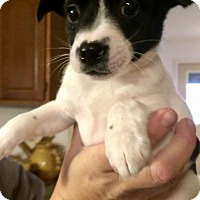 Adopt A Pet :: Saffron - Northeast, OH