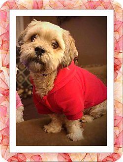 Bichon Frise Mix Dog for adoption in Tulsa, Oklahoma - Adopted!!Nicholas - IL