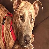 Adopt A Pet :: Canyon: active & social boy - Kirkland, WA