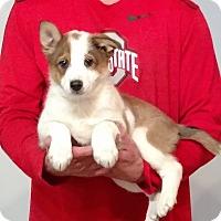 Adopt A Pet :: Lad - Gahanna, OH