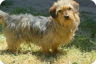 Dachshund Mix Dog for adoption in Yuba City, California - Coco