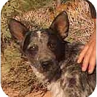 Adopt A Pet :: Tia Maria - Phoenix, AZ