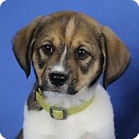 Adopt A Pet :: Claude - Minneapolis, MN