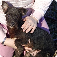 Adopt A Pet :: Cindy(8 lb) Needs Great Family - SUSSEX, NJ