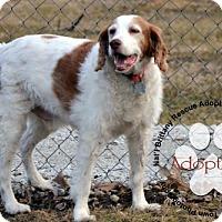 Adopt A Pet :: IA-Coby - St. Louis, MO
