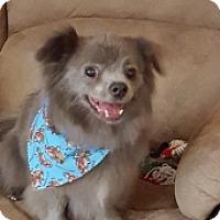 Adopt A Pet :: Asher - Mesa, AZ