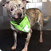 Adopt A Pet :: Dash Riprock - McKinney, TX