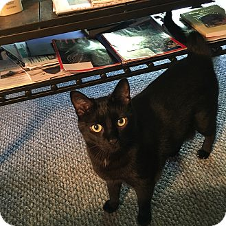 Domestic Shorthair Cat for adoption in LaGrange, Kentucky - SHADOW
