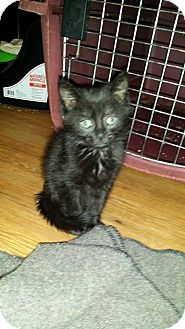 Domestic Mediumhair Kitten for adoption in Levelland, Texas - Diva