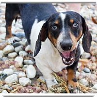 Adopt A Pet :: Klondike ice  blue eyes URGENT - Sacramento, CA