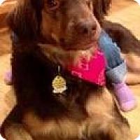 Adopt A Pet :: Lazerus - Alpharetta, GA