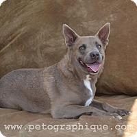 Adopt A Pet :: Storm - Las Vegas, NV