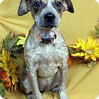 Adopt A Pet :: PEGGY - Westminster, CO