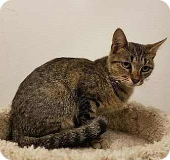 Domestic Shorthair Cat for adoption in Colonial Heights, Virginia - Mopsy