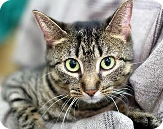 Domestic Shorthair Cat for adoption in New York, New York - Marie