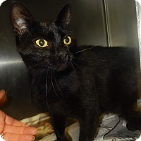Domestic Shorthair Cat for adoption in Newport, North Carolina - Lola