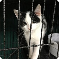 Domestic Shorthair Kitten for adoption in Remus, Michigan - Feline Tiny Tim