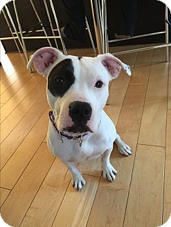 American Staffordshire Terrier/American Bulldog Mix Dog for adoption in Cherry Hill, New Jersey - Emily
