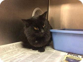 Domestic Mediumhair Cat for adoption in Janesville, Wisconsin - Nimue
