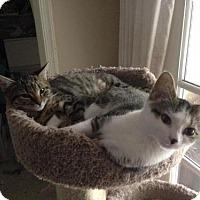 Domestic Shorthair Cat for adoption in Herndon, Virginia - Lexi (& Cassie)