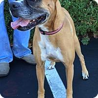 Adopt A Pet :: DAISY - BELL GARDENS, CA