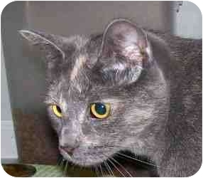 Domestic Shorthair Cat for adoption in Duluth, Georgia - Gumdrop