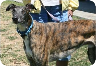 "Greyhound Dog for adoption in Smyrna, Tennessee - Blazing Myles ""Slim"""