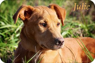 Golden Retriever Mix Puppy for adoption in Wilmington, Delaware - Julie