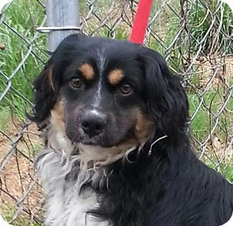Cocker Spaniel/Australian Shepherd Mix Dog for adoption in Brattleboro, Vermont - Hudson