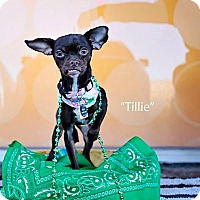 Adopt A Pet :: Tillie - Shawnee Mission, KS