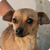 Adopt A Pet :: Khloe - San Francisco, CA