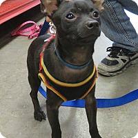 Adopt A Pet :: Nicolas - Studio City, CA