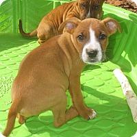 Adopt A Pet :: Yukon-pending adoption - Manchester, CT
