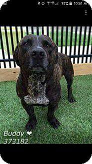Basset Hound/American Pit Bull Terrier Mix Dog for adoption in Cranston, Rhode Island - Buddy