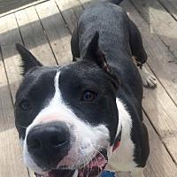 Adopt A Pet :: Miles - Rochester, MI