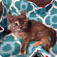 Adopt A Pet :: Lavender - Fenton, MO