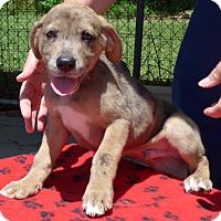Adopt A Pet :: Scamp - Manning, SC