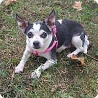 Chihuahua Mix Dog for adoption in Essington, Pennsylvania - Jazzy