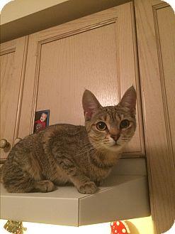 Domestic Shorthair Kitten for adoption in Burlington, Ontario - Scarlett