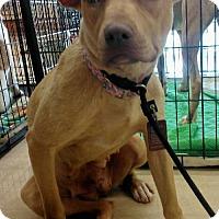 Adopt A Pet :: Fawn - Chatham, VA