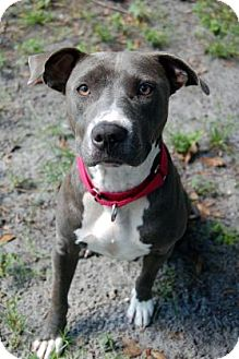 Pit Bull Terrier Mix Dog for adoption in Bradenton, Florida - Bella Girl